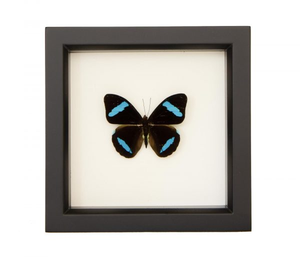 framed-nessaea-hewitsoni