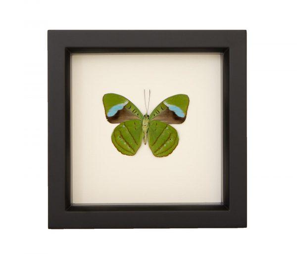 olivewing-butterfly-underside