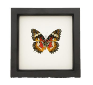 Framed Malay Lacewing (Cethosia hypsea)