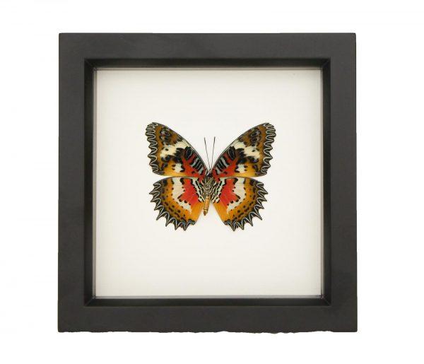 framed cethosia hypsea