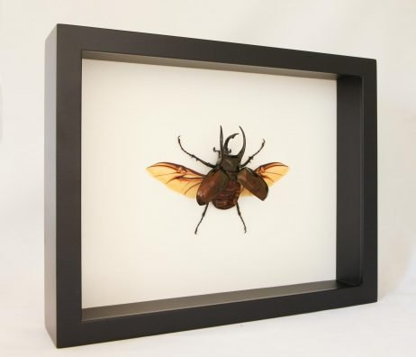 framed Chalcosoma atlas