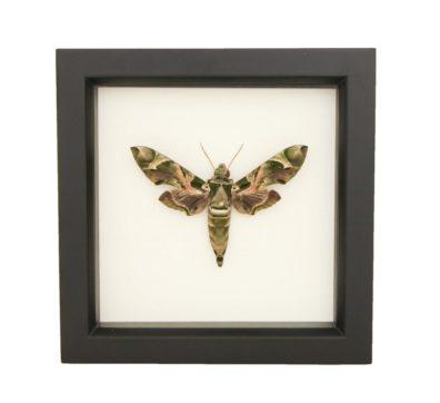Framed Oleander Hawk Moth (Daphnis nerii)