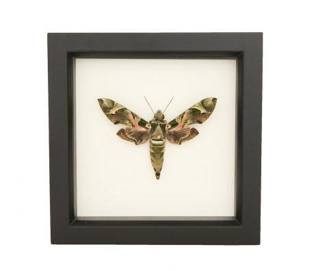 framed oleander moth