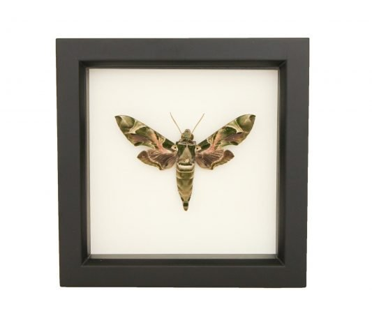 Framed Oleander Hawk Moth