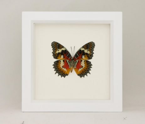 framed malay lacewing