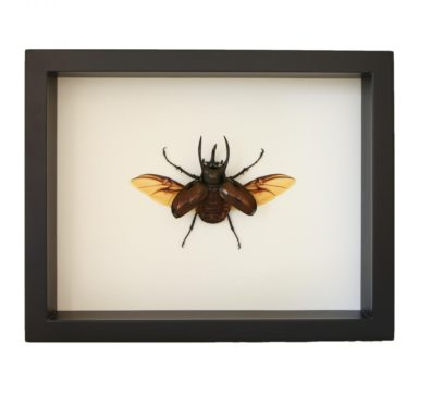 Framed Atlas Beetle (Chalcosoma atlas)
