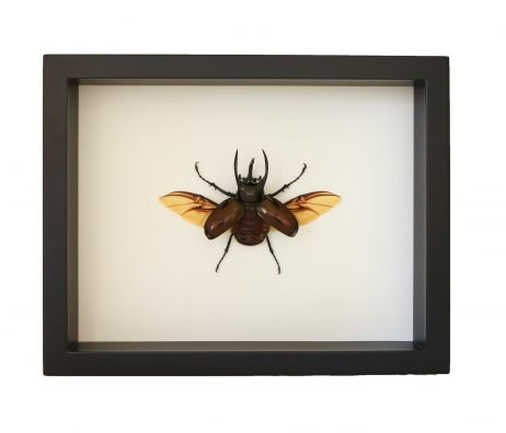 framed atlas beetle display