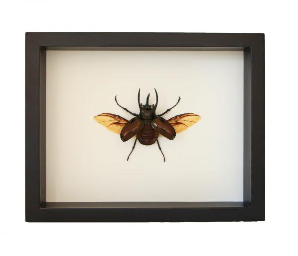 framed atlas beetle display
