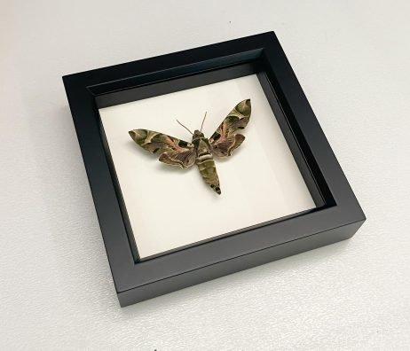 framed oleander hawkmoth
