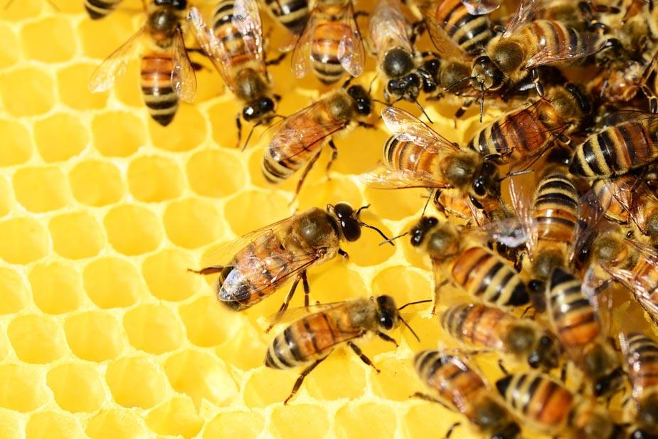 honey bee on comb