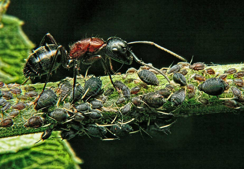 ant guards its aphids