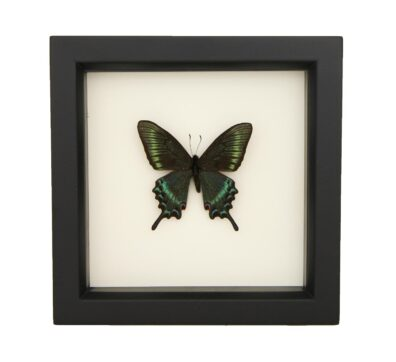 Framed Alpine Black Swallowtail (Papilio maackii)