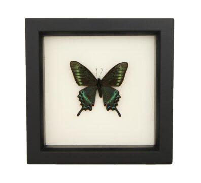 Framed Alpine Black Swallowtail (Papilio maackii)