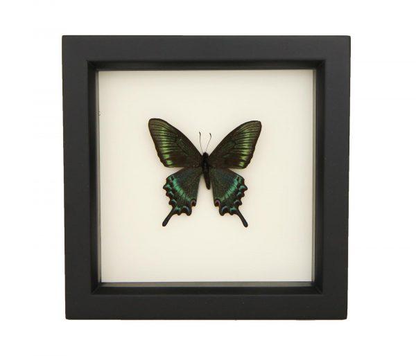 framed papilio maackii