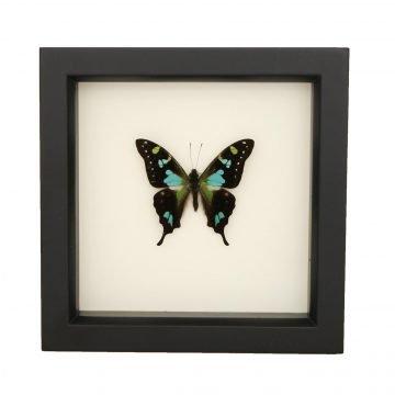 framed Graphium Stresemanni
