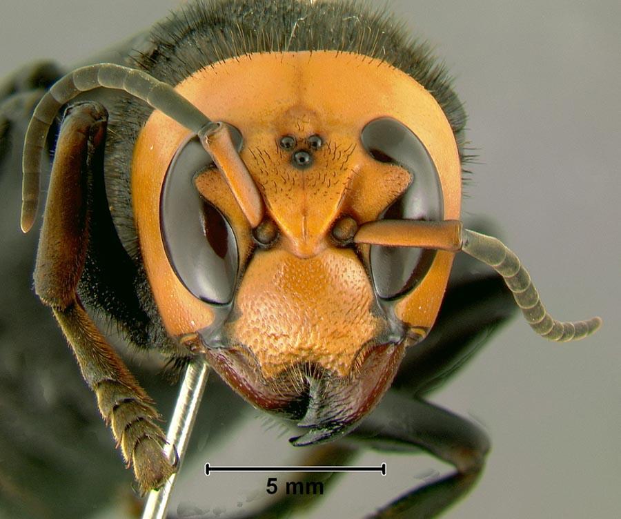 murder hornet vespa mandarinia