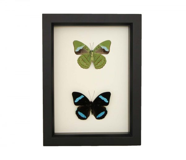 framed olivewing collection
