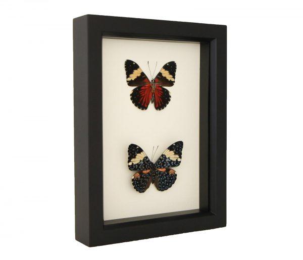 framed cracker butterflies