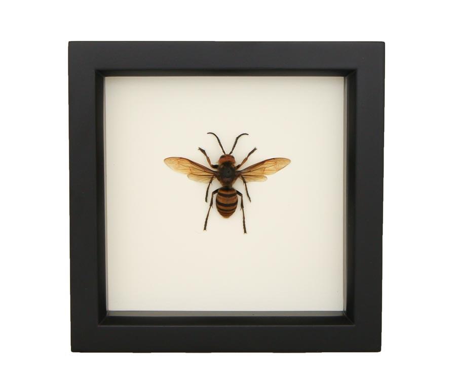 framed murder hornet