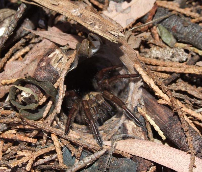 trap door spider