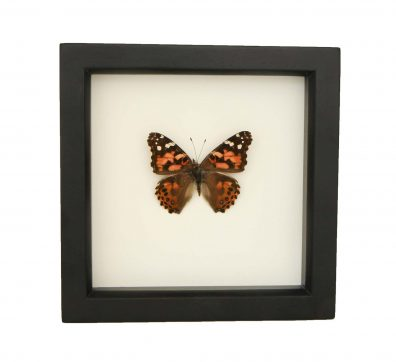 Framed Painted Lady (Vanessa cardui)