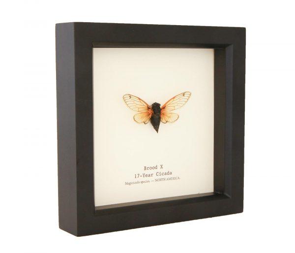 framed Magicicada brood x cicada