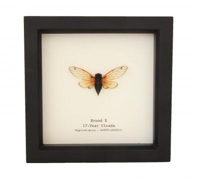 Framed Brood X Cicada (17-Year Cicada)