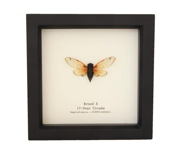framed brood x cicada