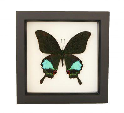 Framed Jungle Jade (Papilio karna)