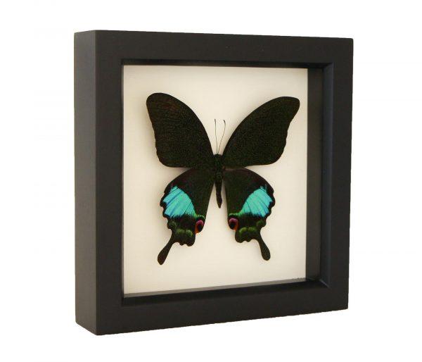 framed papilio karna