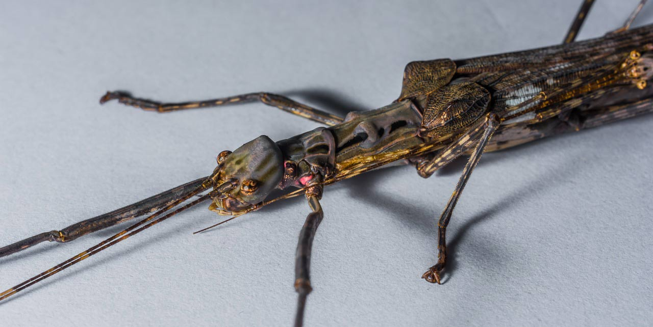 stick insect up close
