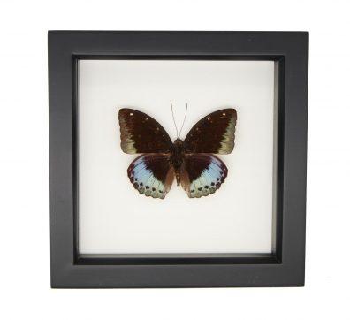 Framed Common Archduke (Lexias pardalis)