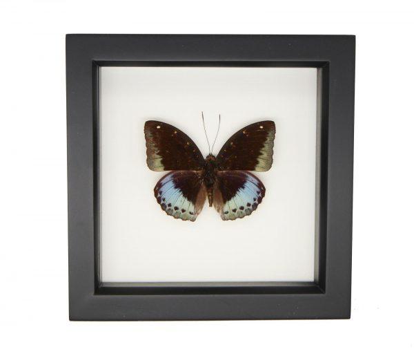 framed lexias pardalis