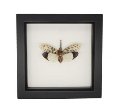 Framed White Winged Lantern Fly (Pyrops astarte)